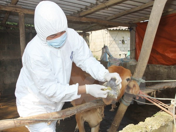 VN works to contain animal foot-mouth disease hinh anh 1