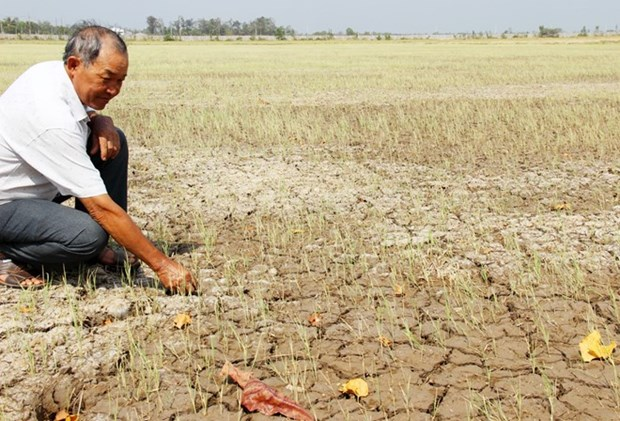 Saline intrusion takes toll on rice crops in Soc Trang hinh anh 1