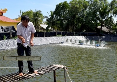 Organic shrimp farmers protect mangrove forests hinh anh 1
