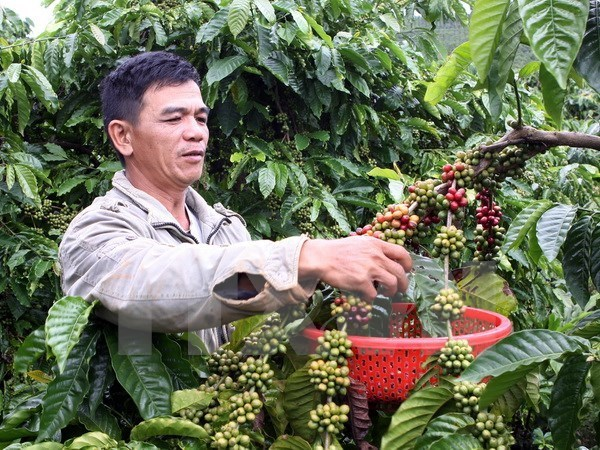 Project launched to replant old coffee plants in Dak Nong hinh anh 1