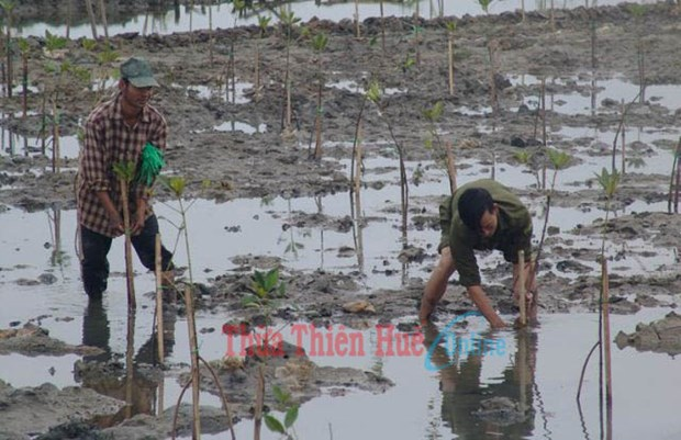 Thua Thien-Hue invests in mangrove afforestation hinh anh 1