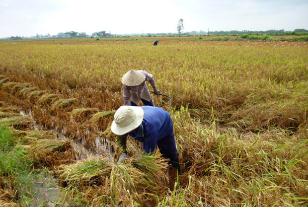 Mekong Delta improves post-harvest rice quality hinh anh 1