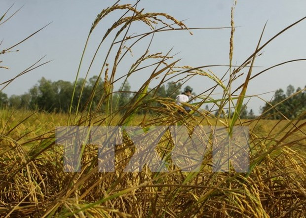 Southern rice output drops over drought, saline intrusion hinh anh 1