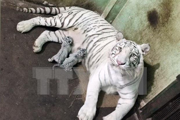 Wild tigers on verge of extinction in Vietnam hinh anh 1