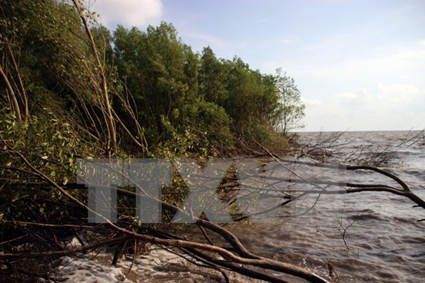 Ca Mau tightens management of coastal preventive forests hinh anh 1