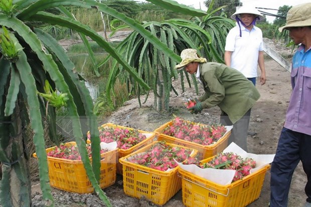 Australia considers dragon fruit imports from Vietnam hinh anh 1