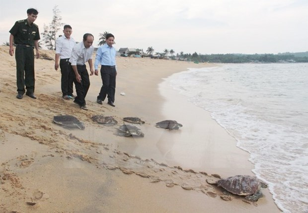 Rare sea turtles released in Quang Ngai hinh anh 1