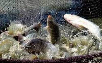 Tilapia breeding area to cover 33,000 hectares in 2020 hinh anh 1