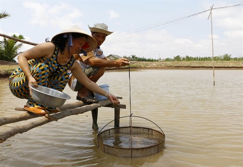 Shrimp breeders lack access to supply chains hinh anh 1