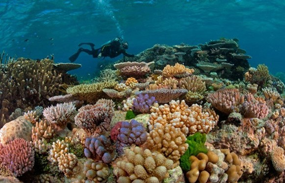 El Nino causes coral bleaching in Con Dao islands hinh anh 1