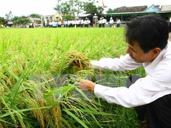 Rice area to be expanded to make up for drought-induced losses hinh anh 1