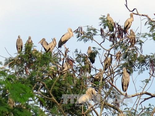 Rare Asian openbill storks flock to Dien Bien hinh anh 1