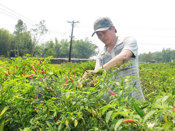Malaysia to import chillies from Vietnam due to limited supply hinh anh 1