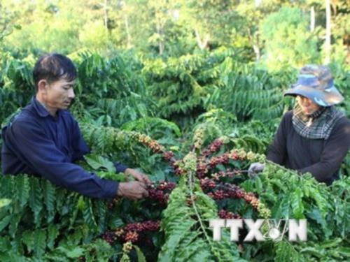 Coffee prices hit 12 month high hinh anh 1