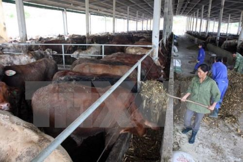 Central Highlands provinces move to develop cattle for trading hinh anh 1