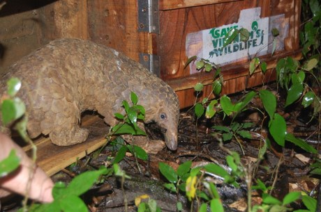 Twenty Java pangolins released back into the wild hinh anh 1