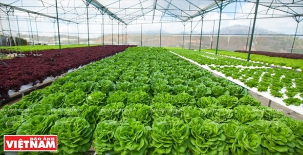 Hi-tech agriculture project developed in Thua Thien-Hue hinh anh 1