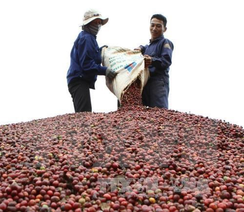 Coffee exports to hit 1.5 mln tones this year hinh anh 1