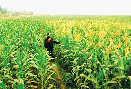 Northern region to expand winter crop area to 430,000 hectares hinh anh 1