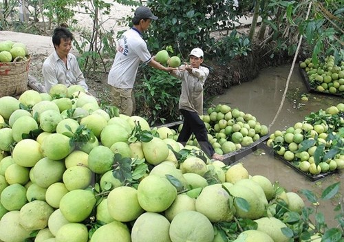 Mekong Delta farming cooperatives link up hinh anh 1