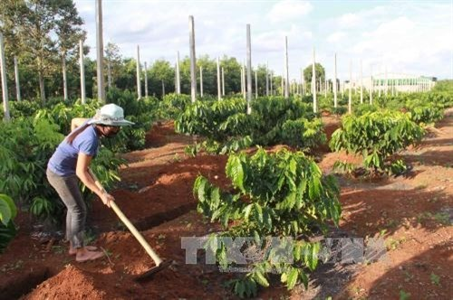 Central Highlands to replant coffee trees on 19,000 hectares hinh anh 1