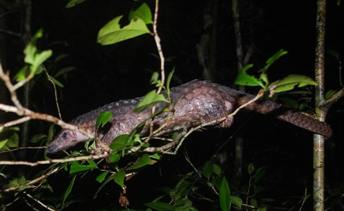Endangered pangolins released into the wild hinh anh 1