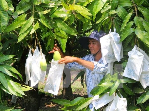 Vietnam begins exporting mango to Australia hinh anh 1