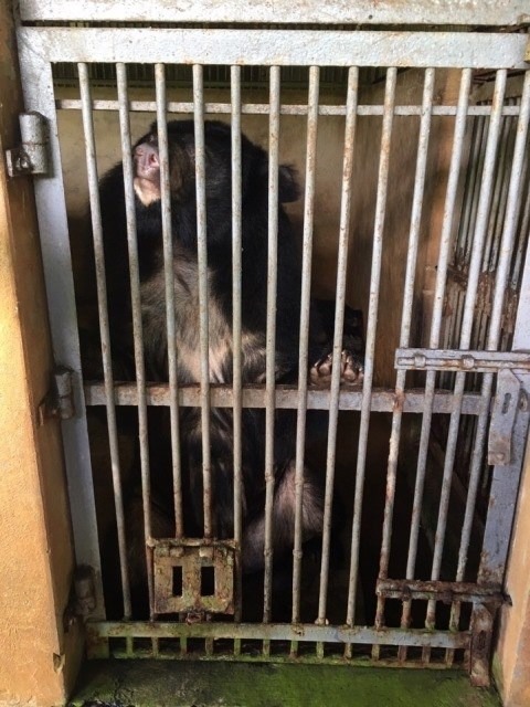 More Tibetan bears sent to rescue centre hinh anh 1