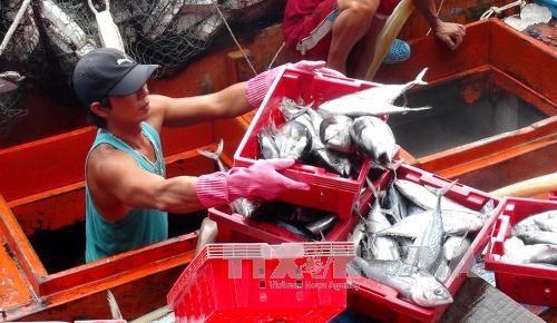 Fishermen earn good tuna profits hinh anh 1