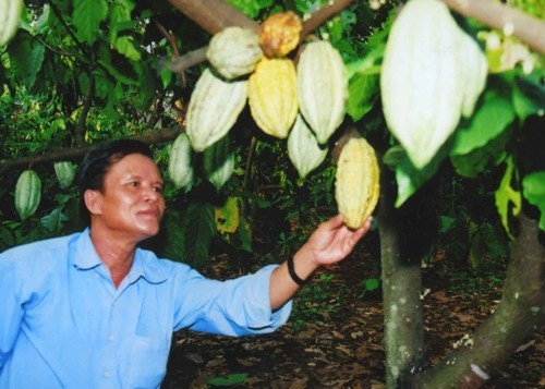 Cocoa to be grown with cashew trees hinh anh 1