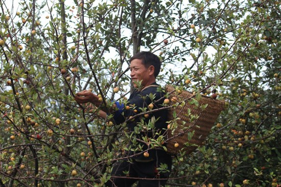 Indigenous tree helps minority escape poverty hinh anh 1