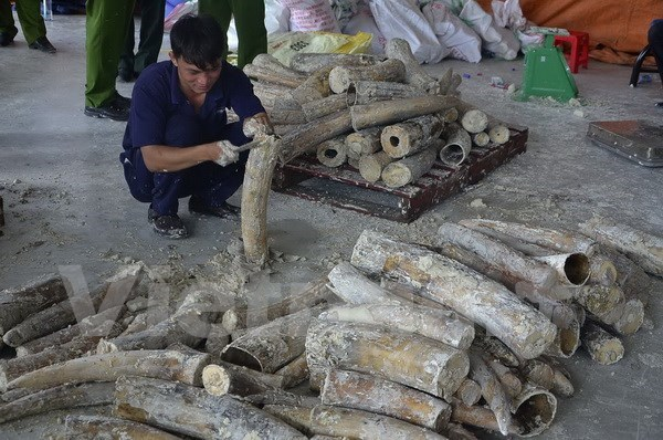 Nearly 1 tonne of smuggled elephant tusks found in HCM City hinh anh 1