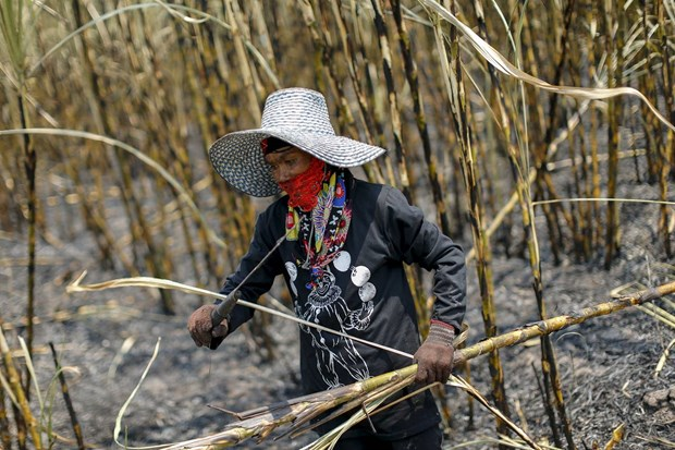 Thailand's sugarcane output falls due to drought hinh anh 1