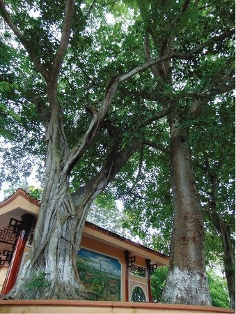 Vinh Long: Ancient trees receive historical relic status hinh anh 1