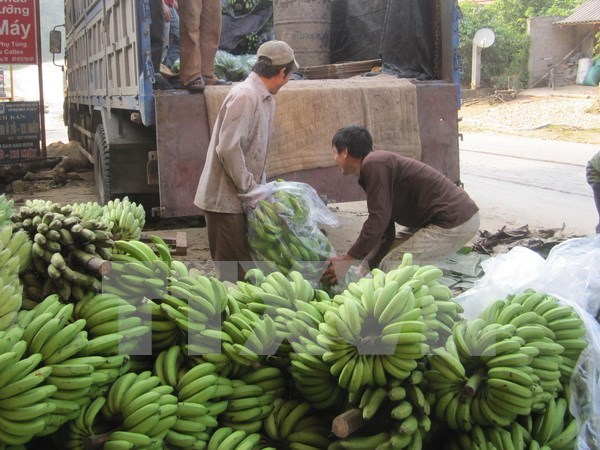 Vietnam banana exports see upbeat outlook hinh anh 1