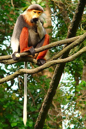 Red-shanked douc langurs discovered in Thua Thien-Hue hinh anh 1
