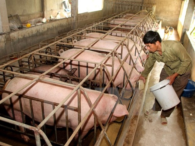 JICA helps Hoa Binh with native pig breeding hinh anh 1