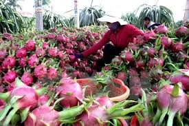 Dragon fruit needs more quality, diversity hinh anh 1