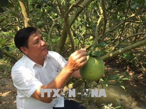 Ben Tre's pomelo earns geographical indication hinh anh 1