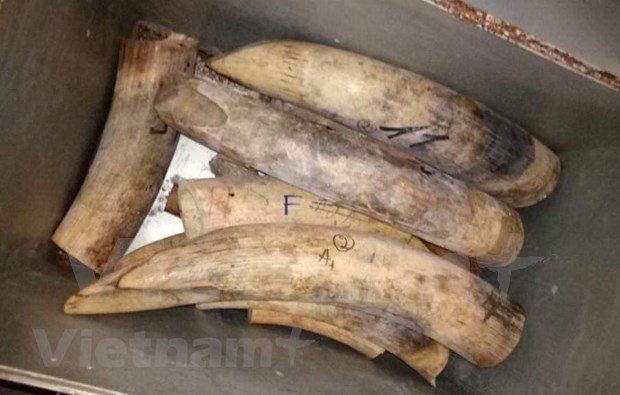 More efforts needed to fight illegal ivory trading hinh anh 6