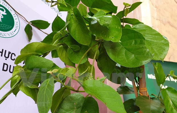Herbal plant proves effective against diabetes hinh anh 1