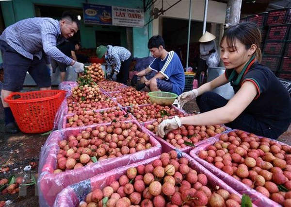 Businesses team up with Bac Giang farmers in selling lychee hinh anh 2