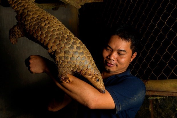 The layer of foundation for pangolin preservation in Vietnam hinh anh 2