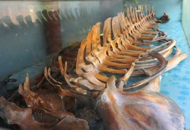 Thanh Hoa: Unique temple worships intact whale skeleton hinh anh 2