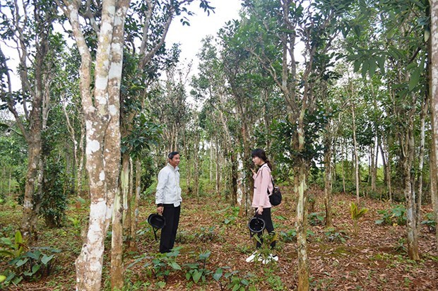 Quang Tri: Efforts to promote and preserve ancient tea gardens hinh anh 1