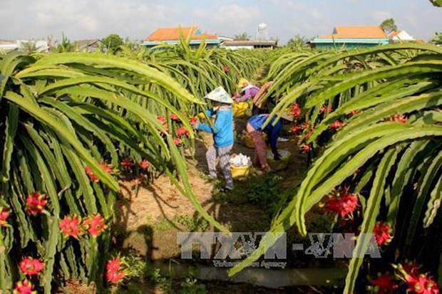 Remarkable progress seen in farming in ethnic minority-inhabited, remote areas hinh anh 2