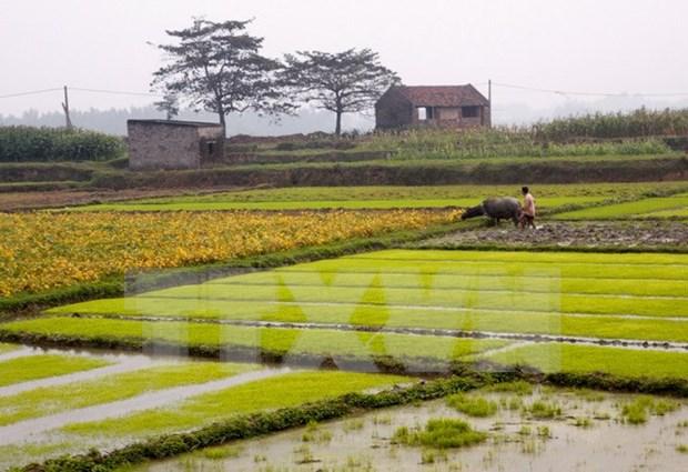 Rice crops yield higher despite El Nino hinh anh 1