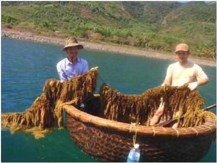 Seaweed project funded to improve local livelihood hinh anh 1