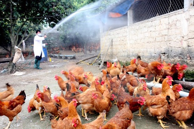Localities asked to brace for potential avian flu during Tet hinh anh 1