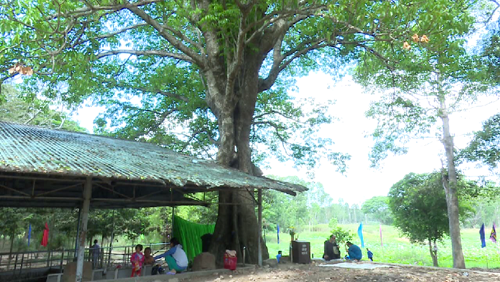 Dong Thap: ancient tree receive national heritage status hinh anh 1